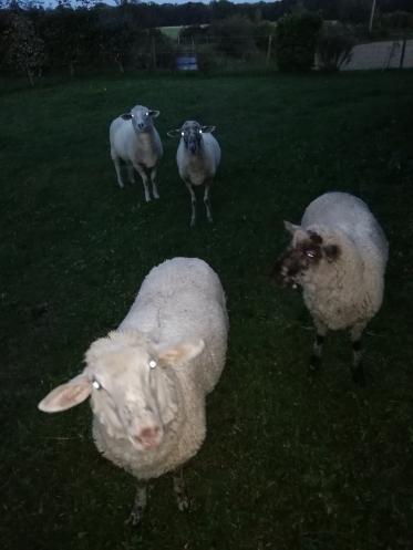 Egelsee Schafe